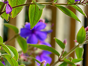 Tibouchina urvilleana is a species of flowering plant in the family Melastomataceae, native to Brazil. Growing to 3–6 m (10–20 ft) tall by 2–3 m (7–10 ft) wide, it is a sprawling evergreen shrub with longitudinally veined, dark green hairy leaves. Clusters of brilliant purple flowers up to 10 cm (4 in) in diameter, with black stamens, are borne throughout summer and autumn.<br />
