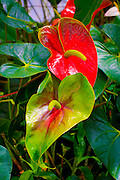 Red Anthurium, World Botanical Gardens & Waterfalls.at Botanical World, Hamakua Coast, Island of Hawaii