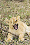 Lion<br /> Panthera leo<br /> 6-7  week old cub playing with stick<br /> Masai Mara Reserve, Kenya