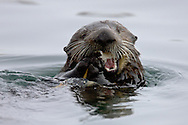 A California Sea Otter (Enhydra lutris) eats a clam - Moss Landing, California