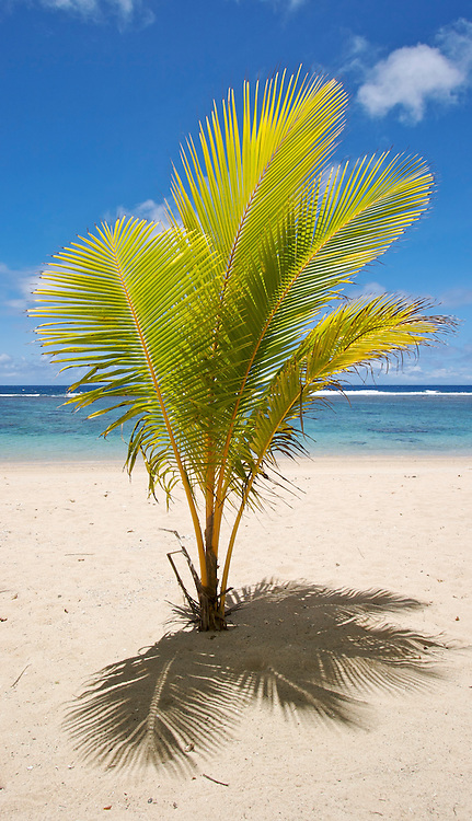 Small palm tree on a tropical beach on Upolu, Western Samoa.