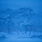 The edge of the forest at the Sabishiro coastline during a snowstorm.