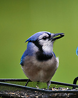 Blue Jay. Image taken with a Nikon D5 camera and 600 mm f/4 VR lens.