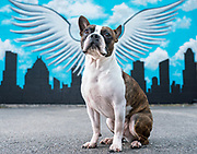 Winged wall used as backdrop in Houston for Photoshoot of two boston terriers.