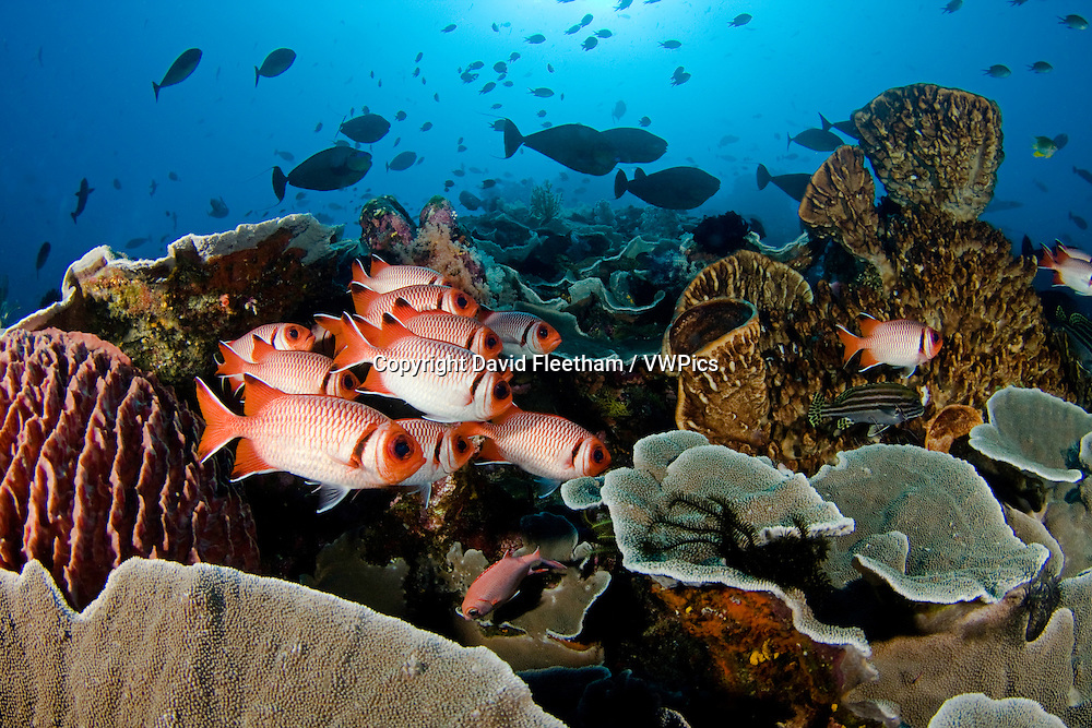 Hard coral, sponge, soldierfish and schooling reef fish dominate this reef scene, Komodo, Indonesia.