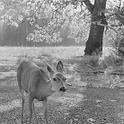 Stare Down Deer Meadow Edge - Yosemite Valley - Infrared Black & White