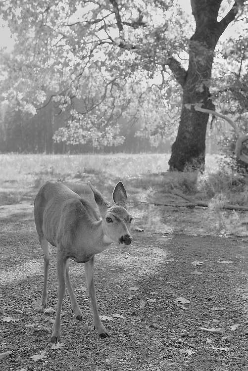 Stare Down Deer Meadow Edge - Yosemite Valley - Infrared Black & White