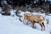 Bighorn Sheep grazing in Lamar Valley inside Yellowstone National Park