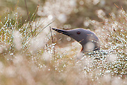 Red-throated diver gavia stellata, adult on nest amongst cotton grass, Scotland, June