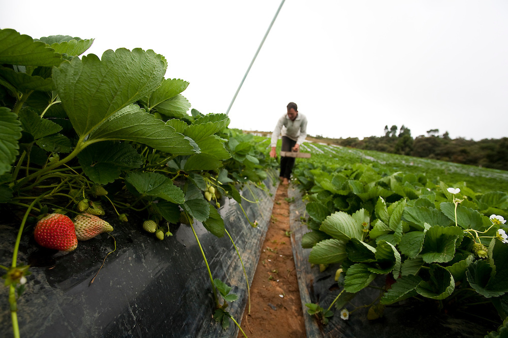 Senador Amaral_MG, Brasil...Plantacao de morangos em Senador Amaral. Na foto um agricultor colhendo as frutas...Strawberries plantation in Senador Amaral. In this photo a farm laborer cropping fruits. . .Foto: LEO DRUMOND / NITRO