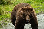 An adult Brown Bear walks along the lower Brooks River in search of salmon at Katmai National Park and Preserve September 15, 2019 near King Salmon, Alaska. The park spans the worlds largest salmon run with nearly 62 million salmon migrating through the streams which feeds some of the largest bears in the world.