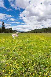 """Labrador at Sagehean Meadows"" - Photograph of a yellow labrador photographed among yellow wildflowers at Sagehen Meadows near Truckee, California."