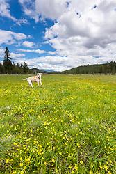 """""""Labrador at Sagehean Meadows"""" - Photograph of a yellow labrador photographed among yellow wildflowers at Sagehen Meadows near Truckee, California."""