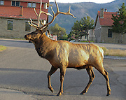 A bull elk (or stag) sports a rack of antlers at Mammoth Hot Springs, Yellowstone National Park, Wyoming, USA. The elk or wapiti (Cervus canadensis) is one of the largest species of deer in the world.