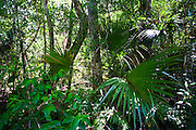 Sabal palms, Sabal palmetto, by Big Cypress Bend boardwalk at Fakahatchee Strand, Florida Everglades, USA