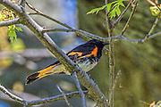 American Redstart - Setophaga ruticilla sitting on a branch
