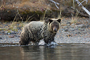 Grizzly bears feeding on sockeye salmon which spawn every fall on Chilko Lake.