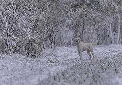 THEMENBILD - ein Hund (Golden Retriever) auf einem Feldweg im Schneegestöber, aufgenommen am 05. Mai 2019, Kaprun, Österreich // a dog (Golden Retriever) on a field path in the snow flurry on 2019/05/05, Kaprun, Austria. EXPA Pictures © 2019, PhotoCredit: EXPA/ Stefanie Oberhauser