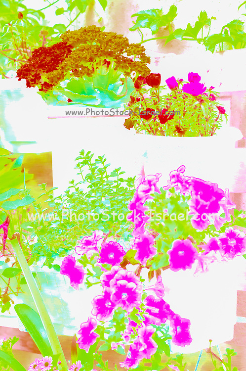 Digitally enhanced image of a Colourful vertical wall garden. potted plants in a vertical array on a wall