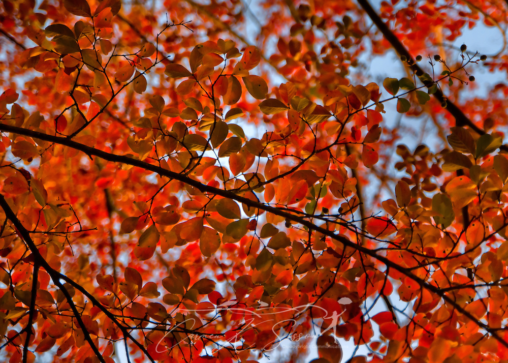 Leaves change colors on a Bradford pear tree during the autumn season in Columbus, Mississippi. (Photo by Carmen K. Sisson/Cloudybright)