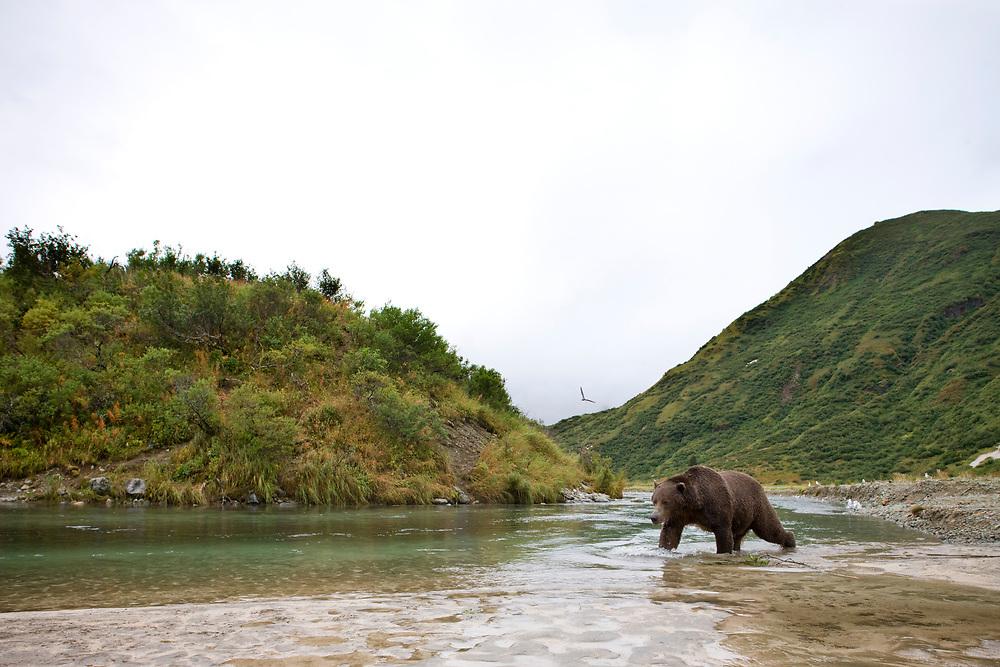 USA, Alaska, Katmai National Park, Kinak Bay, Brown Bear (Ursus arctos) fishing for spawning salmon on autumn day
