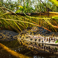 A critically endangered Cuban crocodile (Crocodylus rhombifer) in a swamp in Cuba.  As sea levels rise they are increasingly coming into contact with American crocodiles and interbreeding.