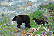 American black bear (Ursus americanus) sow and her two cubs crossing creek<br />Banff National Park<br />Alberta<br />Canada