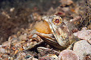 Male Banded Jawfish, Opistognathus macrognathus, incubating and aerating a clutch of eggs in the Lake Worth Lagoon in Singer Island, Florida.