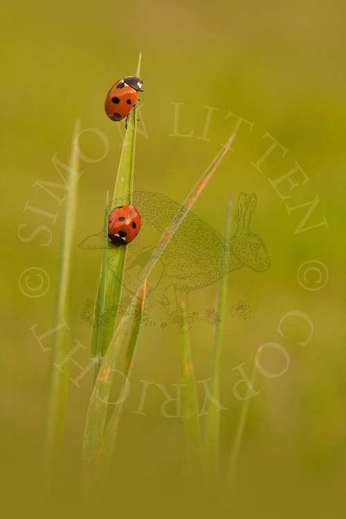 Seven-spot Ladybird (Coccinella septempunctata) pair on blade of grass, Norfolk, UK.