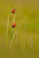 Seven-spot Ladybird (Coccinella septempunctata) pair on blade of grass, Norfolk, UK.