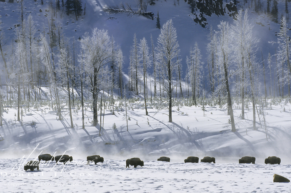 Bison (Bison bison) near Old Faithful during the winter. Yellowstone National Park