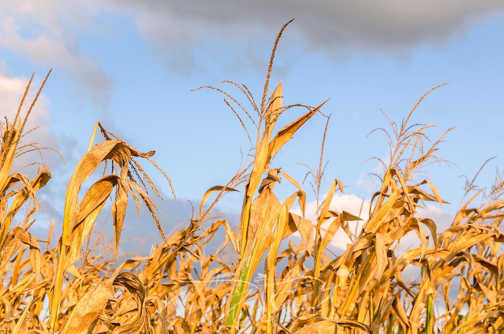 Corn grows along Money Road in Greenwood, Miss. (Photo by Carmen K. Sisson)