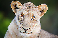 Portrait of a young lioness, Phinda private Game Reserve, KwaZulu Natal, South Africa