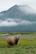 Alaskan Brown Bear,Ursus middendorffi,  Katmai National Park, Alaska