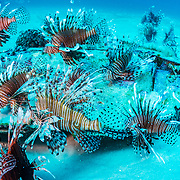 Some places, like the gulf side of northern Florida, have especially high densities of lionfish that can sustain an entire commercial fishery.