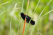 Red-Winged blackbird perched on a cattail.<br /> -Savannah, GA