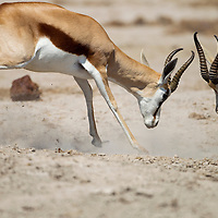 Africa, Botswana, Nxai Pan National Park, Two male Springbok (Antidorcas marsupialis) sparring in Kalahari Desert