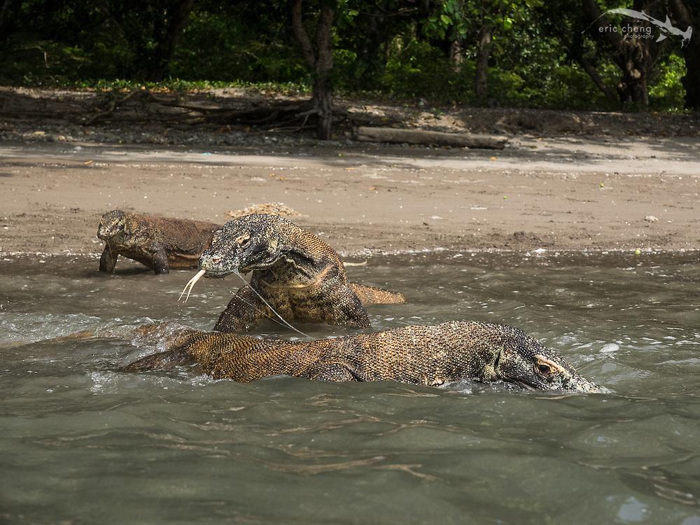 Swimming Komodo dragons (Varanus komodoensis) on the beach on Rinca in Horseshoe Bay, Komodo National Park, Indonesia