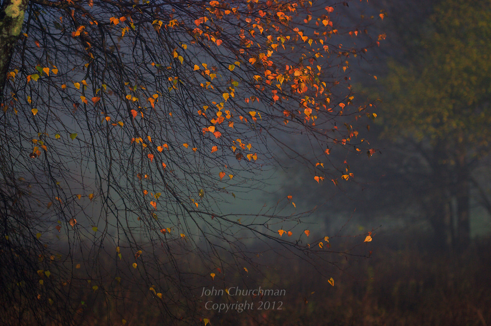 Birch leaves with a mist, early morning walk