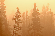 Trees in boreal forest in morning fog<br />Ear Falls<br />Ontario<br />Canada