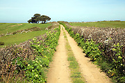 Landscape of track running straight with hedgerows, fields, and trees, Island of Herm, Channel Islands, Great Britain,