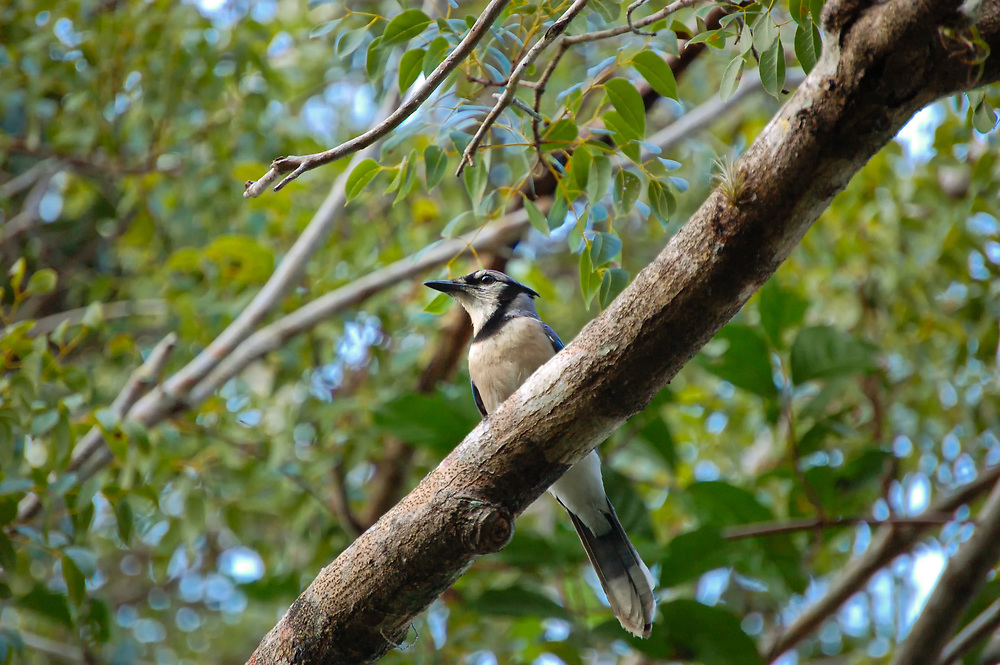 A blue jay pauses briefly in the Florida Everglades just west of Homestead.