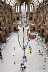 © Licensed to London News Pictures. 27/07/2020. London, UK. A Natural History Museum staff member cleans Hope the blue whale skeleton. The museum re-opens to the public on August 5th after closing due to the Covid-19 pandemic. Photo embargoed for usage until 00:01 28/07/2020. Photo credit: Ray Tang/LNP