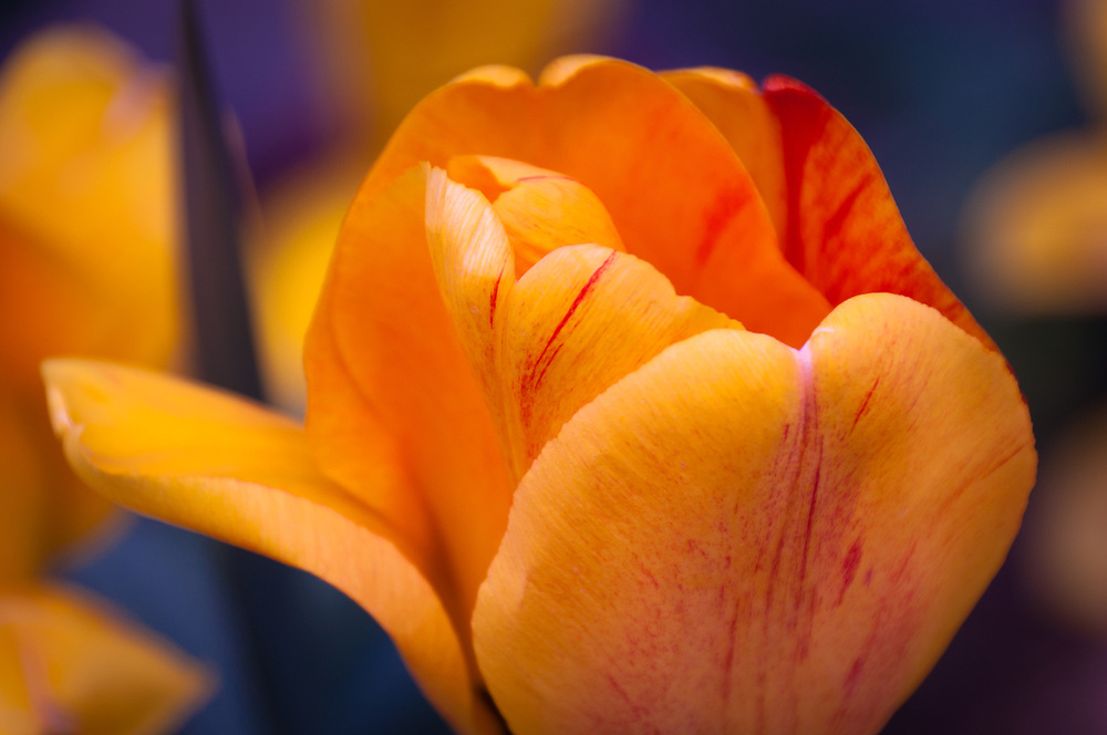 This picture shows a very colorful, beautiful close-up of a tulip.<br />