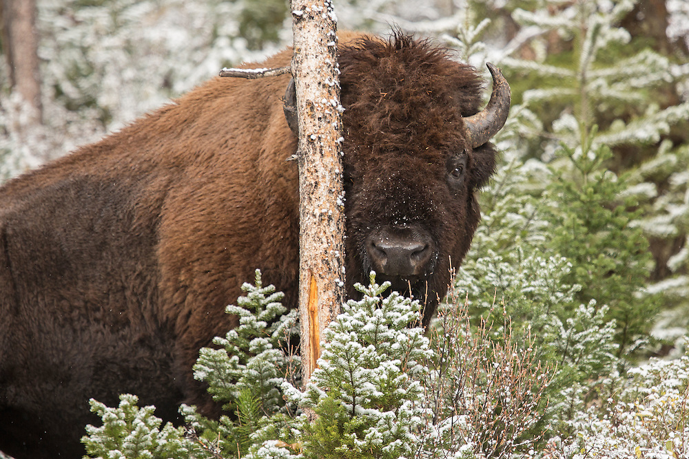 Taking a break from scratching his head on a young lodgepole pine, this massive bison bull almost looks to be attempting to hide behind the tree's spindly trunk.  Peekaboo!