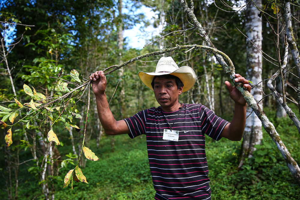 Coffee farmer Escobar Galvez Leonel grabs the branch of a coffee tree infected with leaf rust near Union Buenavista, Ejido, Chicomuselo, Chiapas, Mexico. The fungus has decimated many coffee plantations in the region. Starbucks is working to replace the trees with a variety that is able to better withstand the fungus. (Joshua Trujillo, Starbucks)<br /> <br /> ***model released***