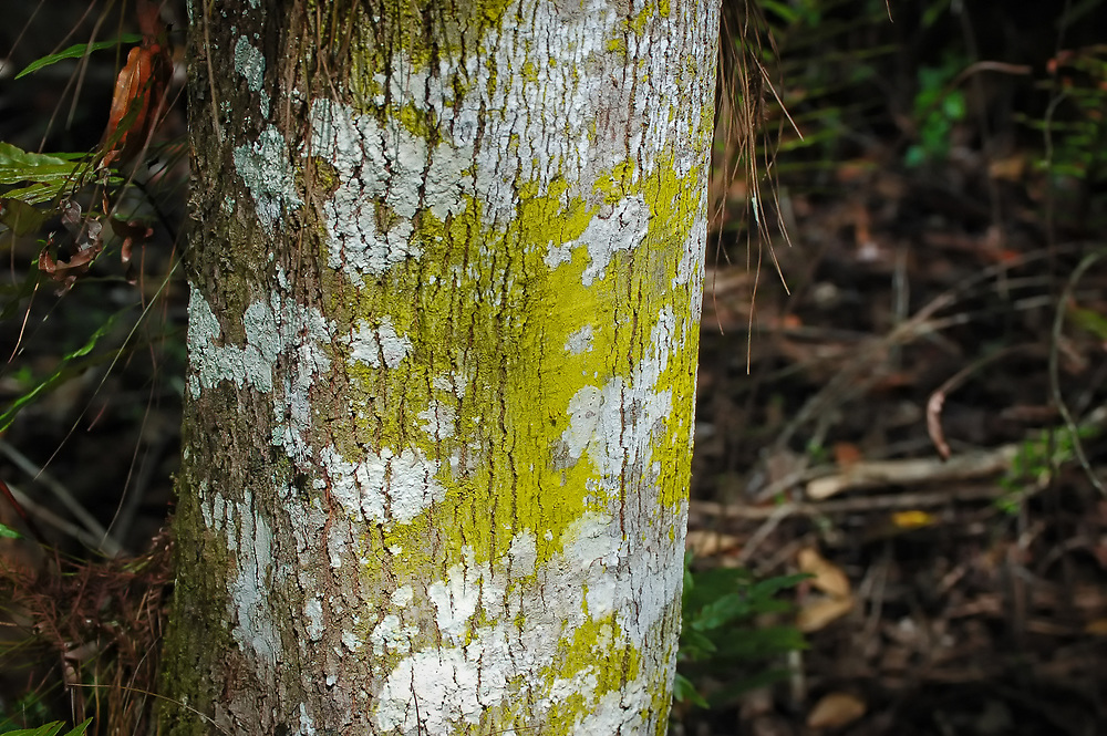 The bright yellowish-green patch on the cypress trunk consists of Chrysothrix candelaris, a species of crustose lichen. The greyish-white lichen is Cryptothecia evergladensis, a different type of crutose lichen. This tree with both species is growing in the Fakahatchee Strand of the Northwestern Everglades.