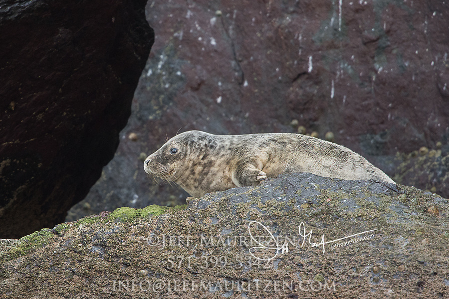 A Grey seal rests on a rock on Little Skellig island, County Kerry, Ireland.