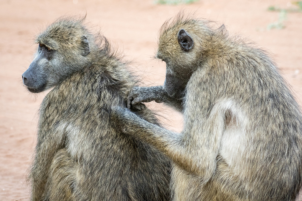 A Chacma baboon (Papio ursinus) helps its grooms its companion, using its hands to remove bugs. Chobe National Park - Botswana