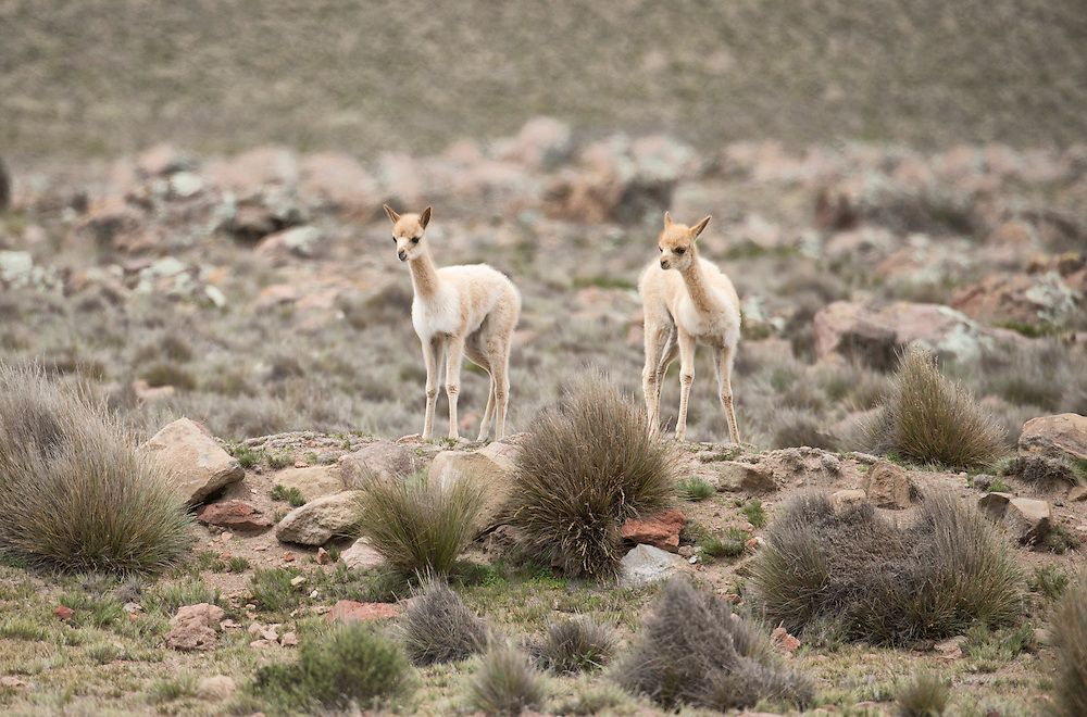 South America,Peru, Altiplano, baby vicunas in the high andes